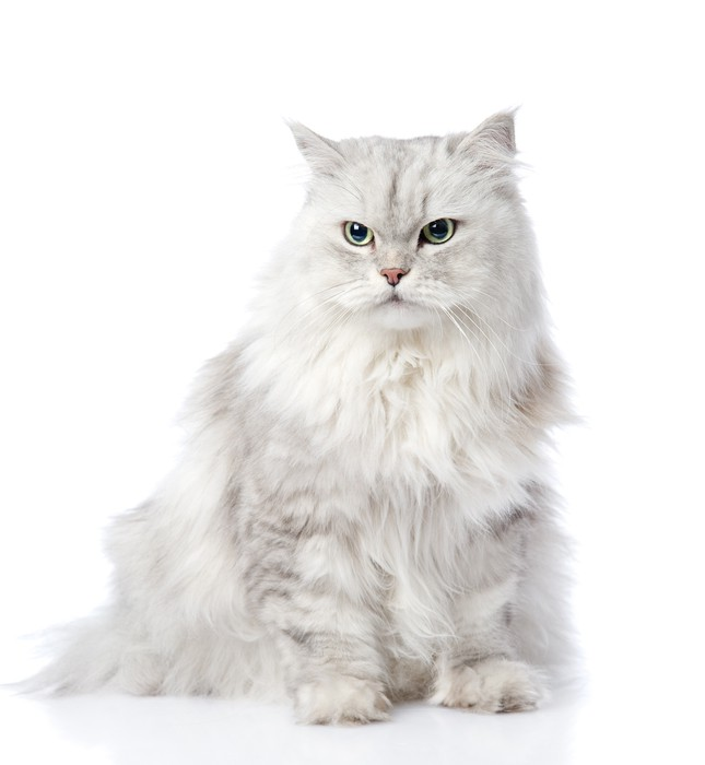 gray persian cat looking away. isolated on white background