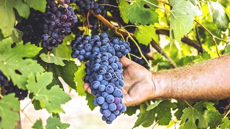 grappoli-di-merlot-guida-ai-vini-e-vitigni-di-tutto-il-mondo-atlante-del-vino