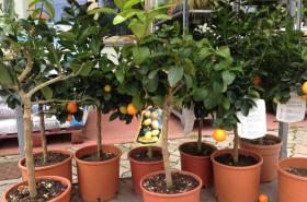 vendita arance spinacè oderzo